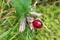 赤い実が目立つ、「ツルリンドウ」。(30.10.4)