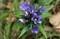 素晴らしい存在案の「リンドウ(竜胆)」の花。(30.10.4)