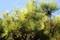 「リギダ松」、茂った枝葉の間に、若い果実が…。(30.10.8)