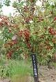 たわわに実った「褒めリンゴ」の果実。(30.10.9)
