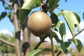 「賢治ゆかり・やまなし」果実が完熟。(30.10.9)