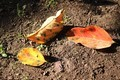 色づいた「柿の落ち葉」(30.10.10)