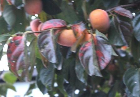 ゆ型、寒そうな「柿の木」。(30.10.12)