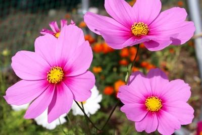 今が見頃、仮設グランドわき花壇の「コスモス」。(30.10.13)