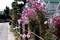花が大きく草丈も長い「コスモス・センセーション」(30.10.13)