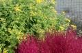 咲き始めた「泡黄金菊」の黄色が、「コキア」の赤色と好対象。830.10.
