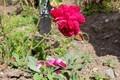 「賢治が好んだバラ」が開花・散り始め。(30.10.16)