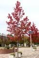 ひろばの街路樹・「モミジバフウ・アメリカフウ」。(30.10.16)