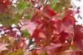「カエデ」によく似た、葉の形。(30.10.16)