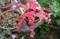 「ミセバヤ」の紅葉、これも「草紅葉」…?(30.10.18)