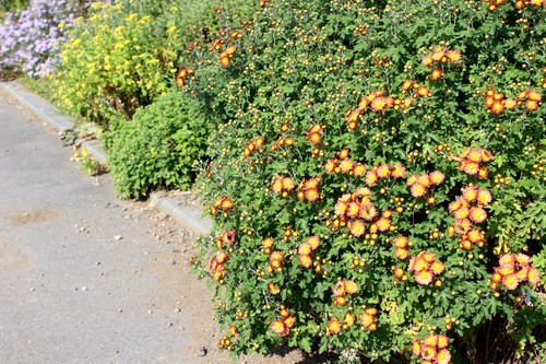 色とりどりの、「野菊」の群生。(30.10.19)