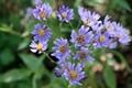 「シオン(紫苑)」の花もひっそりと…。(30.10.23)