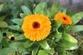 外プランターに「キンセンカ(金盞花)」の花が…。(30.10.19)