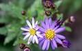 代わって、「濃い紫色の「コンギク(紺菊)」が見頃に…。(30.11.2)
