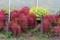 裏道花壇の「コキア・ホウキグサ(箒草)・紅葉」、寒さで更に赤みを