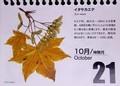 『北海道 花暦』、「イタヤカエデ」。(30.10.21)