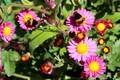 野菊の花に、虫たちが蜜集め中。(30.10.24)