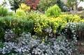 「野菊エリア」満開の花で、今が見頃…。(30.10.25)
