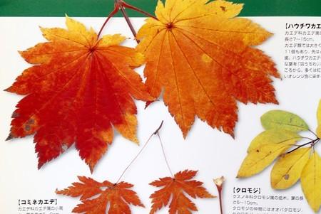 「ハウチワカエデ(羽団扇楓)」(『日本の樹木』より)