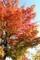 紅葉が見頃、佐久平駅・バス停わきの「イロハカエデ」(30,10,25)