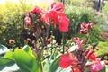 まだ楽しめる「カンナ」の花。(30.10.26)