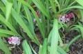 花の端境期に、貴重な「キチジョウソウ(吉祥草)」の花。(30.10.30)
