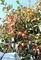 「柿」が、収穫の適期に…。(30.10.26)