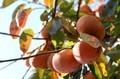 「柿」が収穫の適期に…。