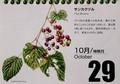『北海道 花暦』、今日は「サンカクヅル(三角蔓)」