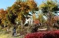 「トチノキ(栃の木)」や「クヌギ(櫟)」などが黄葉し始めて…。(30