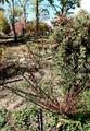 ガーデンの入り口を彩る、「コトネアスター」の赤い実。(30.10.30)