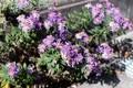寒さに負けずに咲く「野菊・コンギク(紺菊)」(30.11.3)