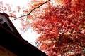 鉱油が見頃、岩村田招魂者の「イロハモミジ」(30.11.2)