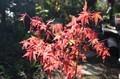 「カエデ」の紅葉が真っ盛り。((30.11.2)
