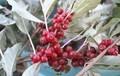 小粒の真っ赤な実、シルバーリーフとの対比も美しい。830.10.31)