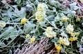「アワコガネギク(泡黄金菊)」への降霜。(30.11.1)