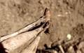 「ダリア」の球根の保存には、「クラウン」が大切。((30.11.2)