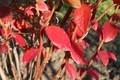 日差しを受けて、真っ赤に照る「ブルーベリー」(30.11.3)