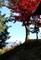丘の上に立つ、紅葉の「イロハモミジ」。(30.11.5)