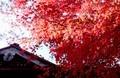「社務所の屋根」より高く、「イロハモミジの紅葉」が…。(30.11.5)