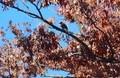 「ケヤキ(欅)」は、色褪せた「褐葉」…。(30.11.5)