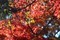 紅葉を際立たせる、「ホザキヤドリギ(穂咲き宿り木)」の実。(30.11.5)