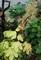 和名は、葉の形が由来の「モミジガサ(紅葉傘)」。(30.11.6)