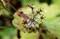 果実が完熟、「モミジガサ(紅葉傘)」(30.11.6)