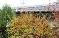 もうすぐ葉が落ち、赤い実が目立つようになる、「ウメモドキ(梅擬)