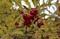 赤い実、黄葉の「ウメモドキ(梅擬)」、(30.11.8)