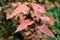 「ケヤキ(欅)」が、本来の「褐葉」、。(30.11.8)