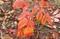 紅葉の代表種、「ヌルデ(白膠木)」の幼木。(30.11.9)