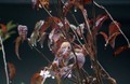 雨後の「十月桜の褐葉」(30.11.10)