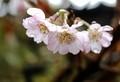 しとしと雨に開いた「ジュウガツザクラ(十月桜)」(30.11.10)